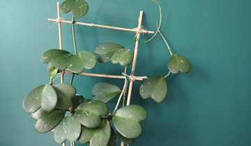 Caring for Your Hoya kerrii