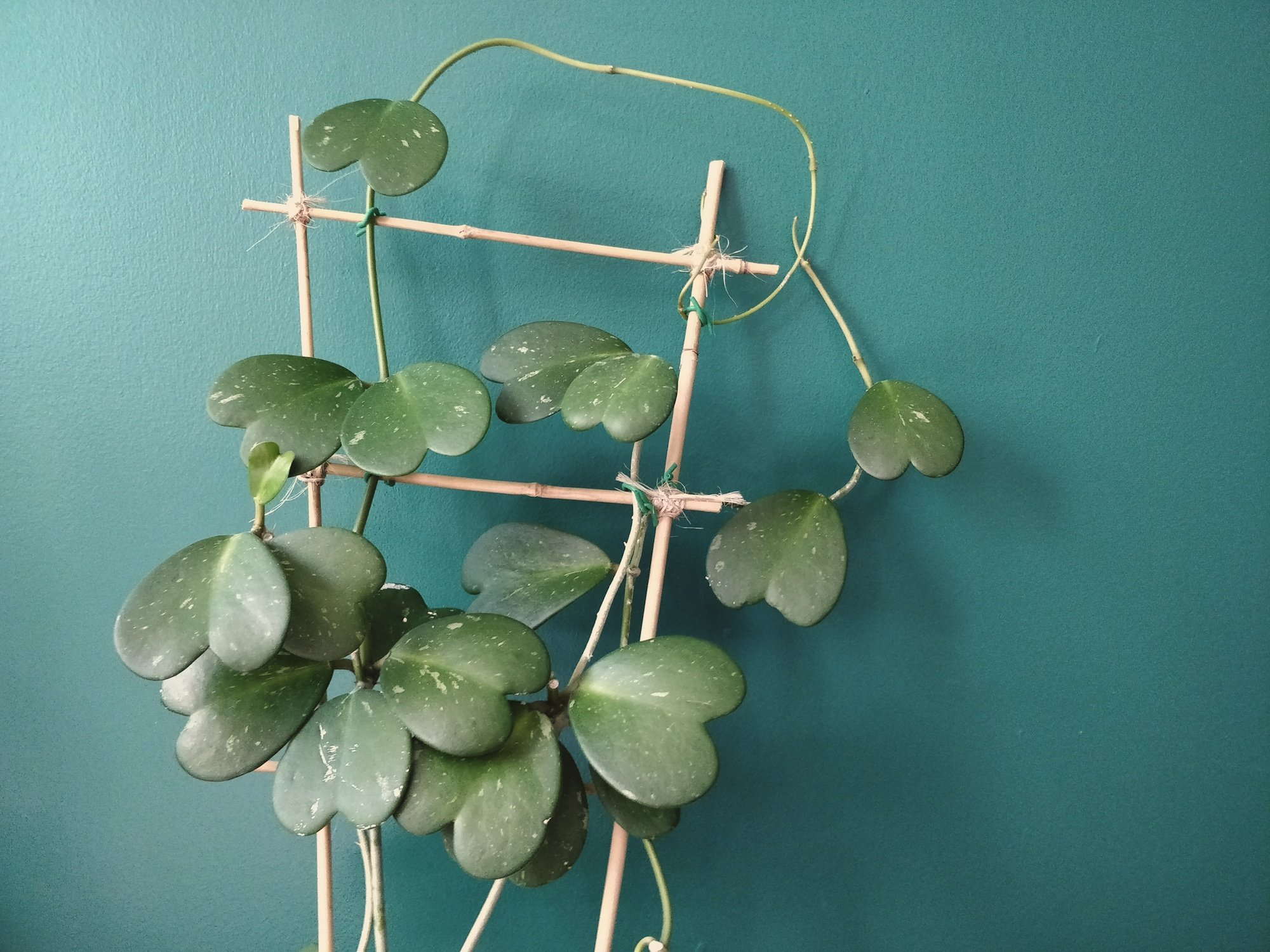 Caring For Your Hoya Kerrii Plant Care And Tips Home By Faith